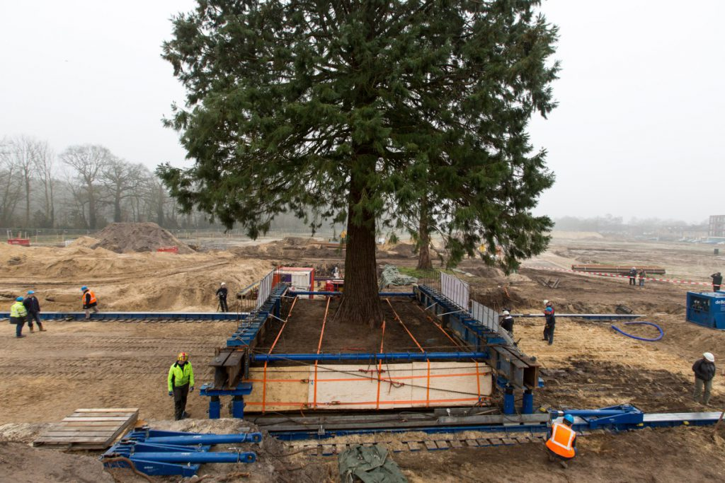 Copijn Boomspecialisten verzorgde een spectaculaire verplanting van een Mammoetboom en Watercipres bij de Lange Dreef in Driebergen.