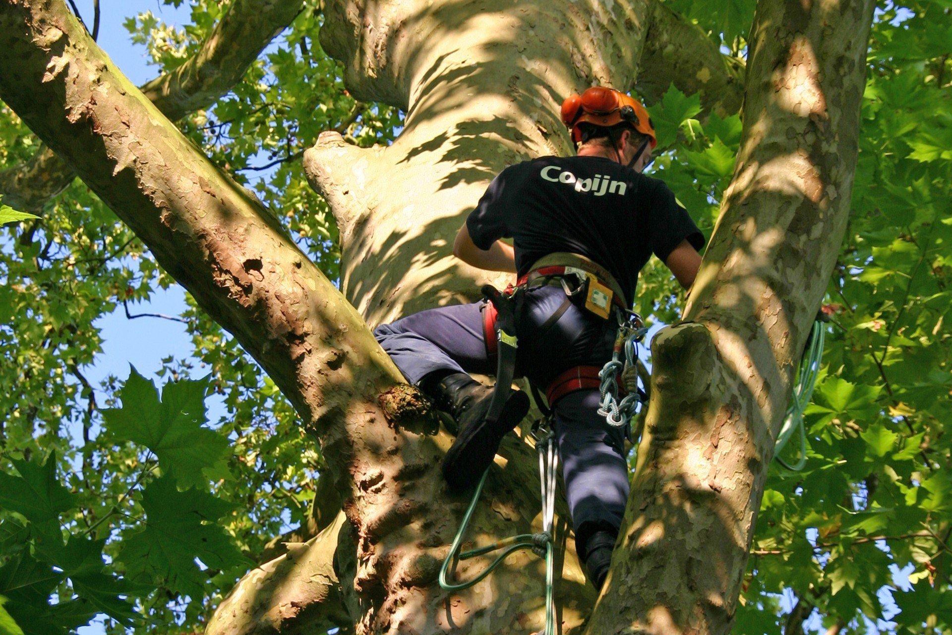 Onze Copijn Boomspecialisten bestaat uit ETW opgeleide boomverzorgers die veel ervaring hebben met het aanplanten, verplanten en snoeien van bomen.