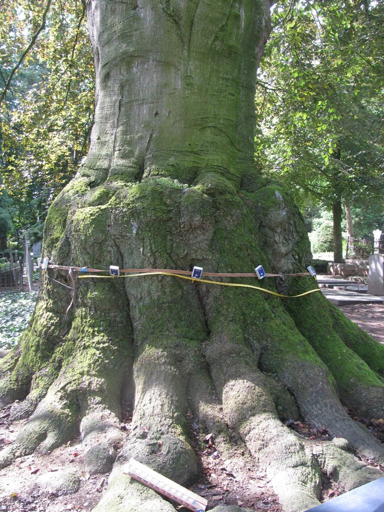 Boomtechnisch onderzoek door Copijn Boomspecialisten omdat de conditie van de boom sterk achteruit is gegaan.