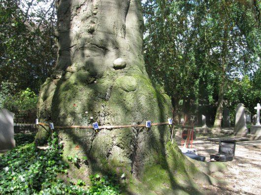 Copijn heeft een boomtechnisch onderzoek gedaan bij de dikste beuk van Nederland omdat de conditie van de boom sterk achteruit is gegaan.