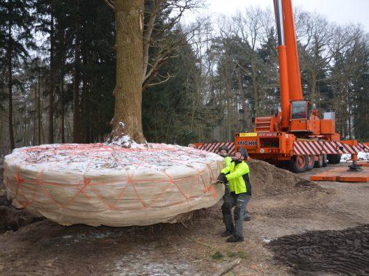Bij de verplanting bij het Helen Dowling Instituut wordt de kluit aan het begin van vorstperiode vrij gegraven en bij het invallen van de vorst nat gemaakt.