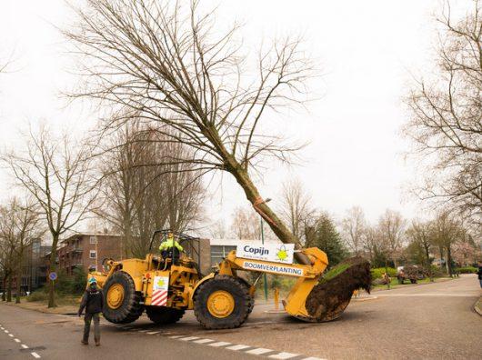 Copijn bomen verplanten Linde Baarn Caterpillar met Begeleiding